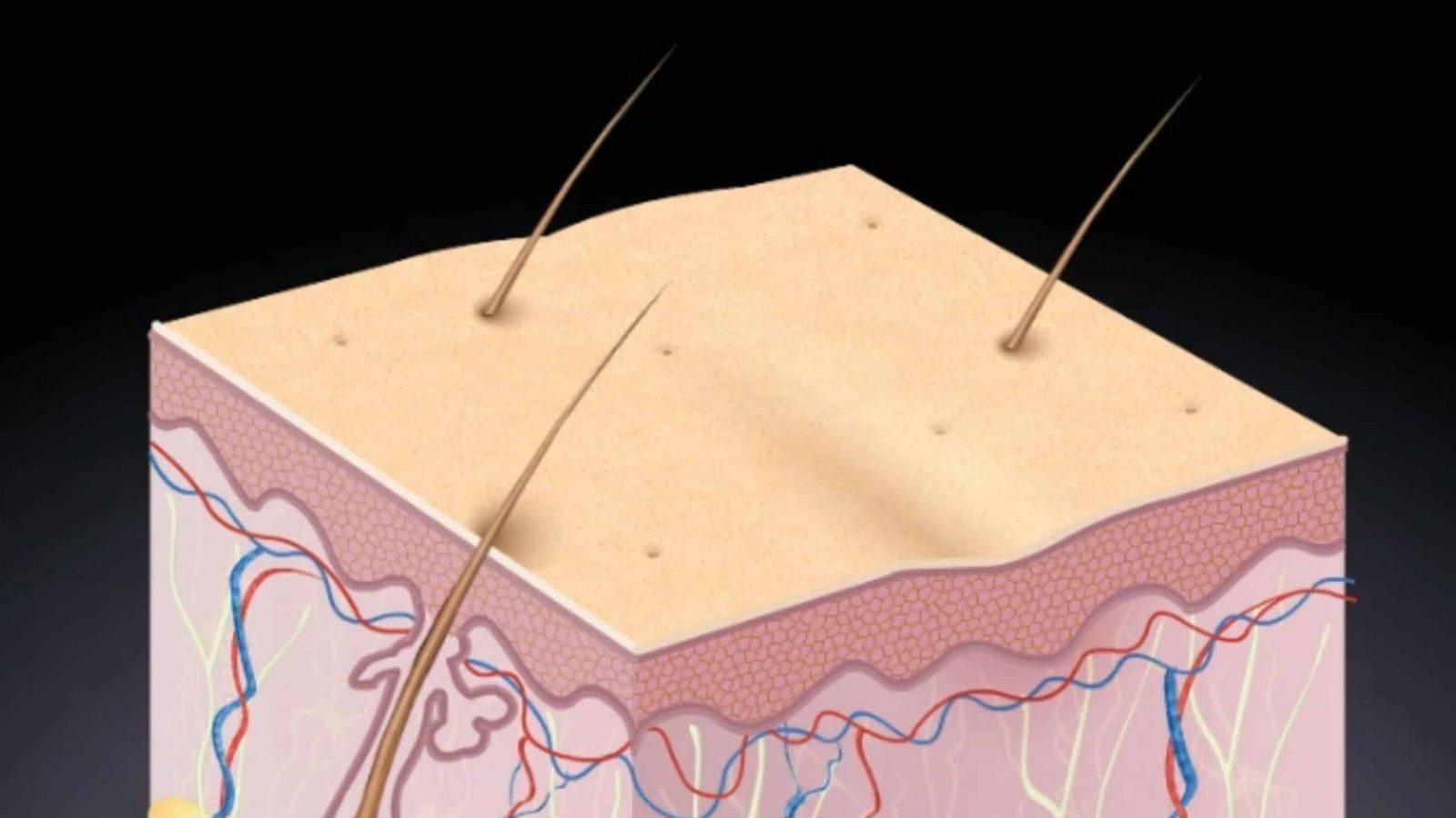 Web3D - תלת מימד - רקמת עור